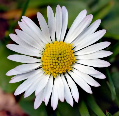 Bellis_perennis_white_(aka)_scaled