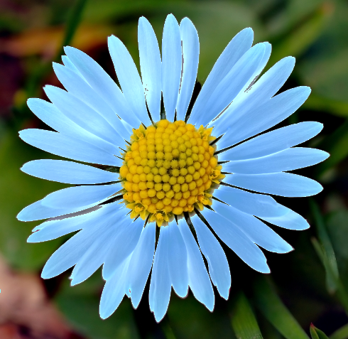 Daisy_light_blue