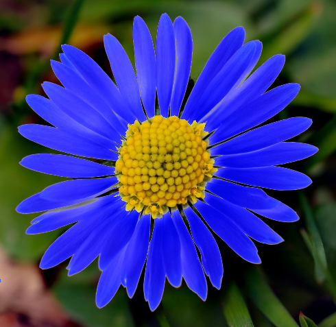 Daisy_medium_blue