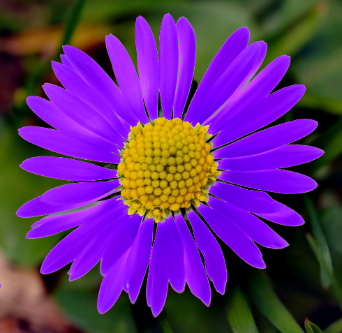 Daisy_purple