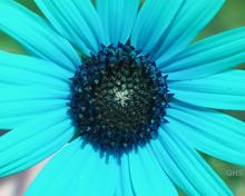 Sunflower SwapBlueAndRed