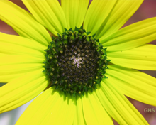Sunflower SwapRedAndGreen