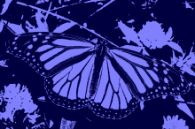 Butterfly12