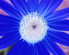 Sunflower-Blue