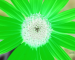 Sunflower-Green