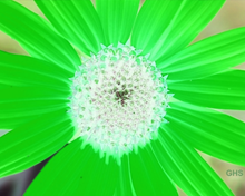 Sunflower-Green