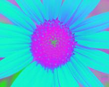Sunflower-Invert-Blue-Red
