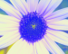 Sunflower-Invert-Blue