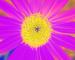 Sunflower-Invert-BlueGreen-SwapBlueRed