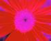 Sunflower-Invert-BlueRed-SwapBlueRedFixGreen35