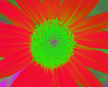 Sunflower-Invert-Green