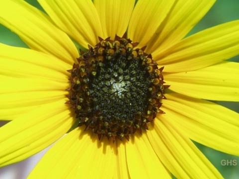 Sunflower_USFWS