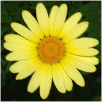 Daisy Motion Blur 7x7 135 Degrees