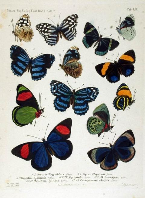 NovaraExpZoologischeTheilLepidopteraAtlasTaf53