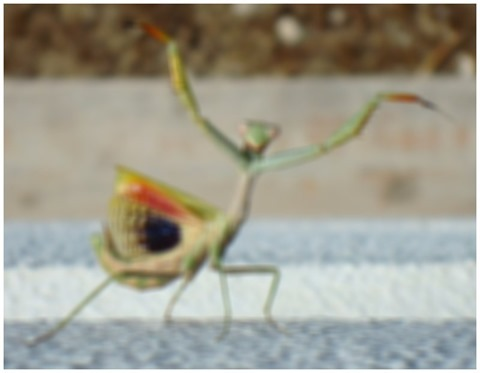 Prey Mantis Gaussian Kernel 13x13 Weight 13