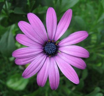 Purple_osteospermum