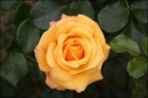 Rose Gaussian Kernel 3x3 Weight 5.5