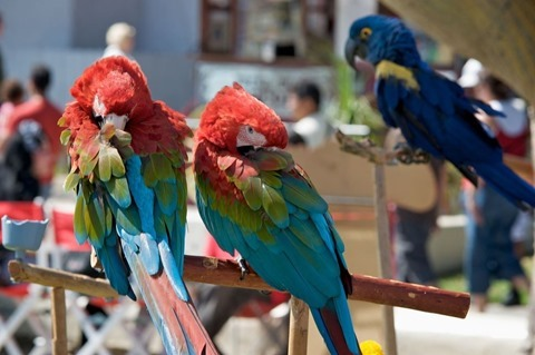 1280px-Macaws_at_Seaport_Village_-USA-8a
