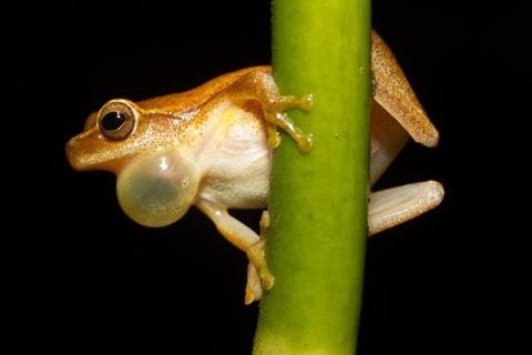 Dendropsophus Microcephalus