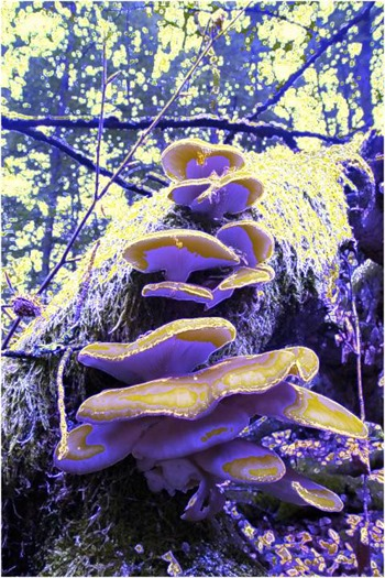 Mushroom: Blue, FilterSize 5, Color Shift None, Edge Tracing Double Intensity, Edge Threshold 75
