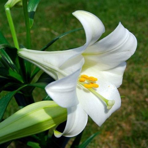 1024px-Lilium_longiflorum_(Easter_Lily)