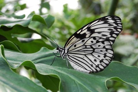 Weiße Baumnymphe (Idea leuconoe) fotografiert im Schmetterlingshaus des Maximilianpark Hamm