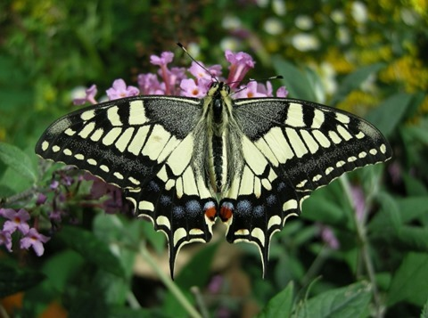 Old World Swallowtail on Buddleja davidii