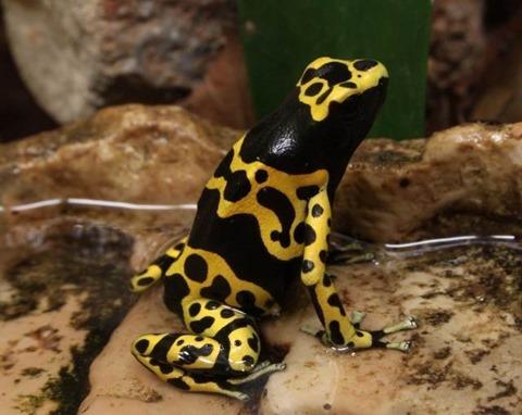 Bumblebee_Poison_Frog_Dendrobates_leucomelas