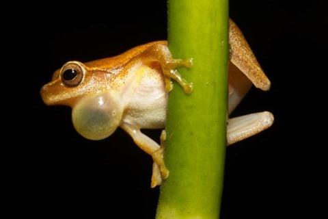 Dendropsophus_microcephalus_-_calling_male_(Cope,_1886)