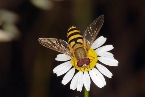 Syrphidae, Knüllwald, Hessen, Deutschland